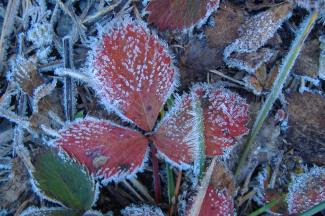 Frosted Strawberry