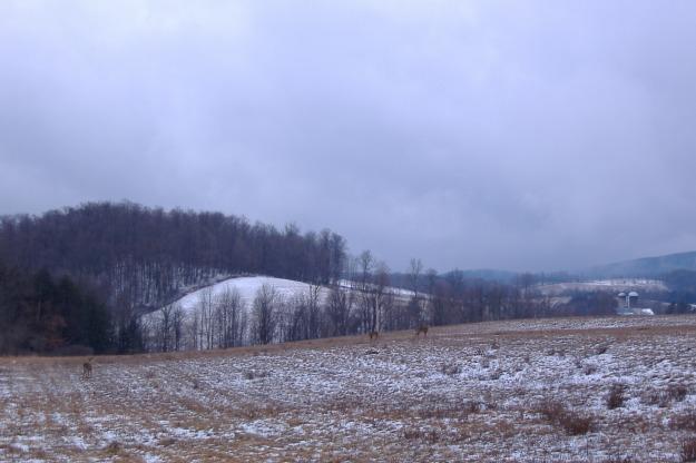 Whitetail Deer, Rosenburg