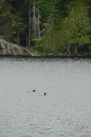 In The Company Of Loons