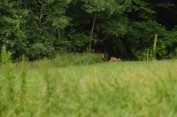 Doe and Fawn in the Glen