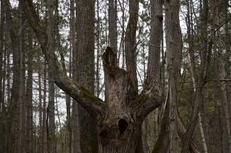 Ogre Tree