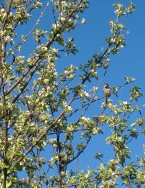 Sparrow with Apple Blossoms