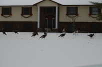 Wild Turkeys (and deer)