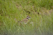 Killdeer In The Grass