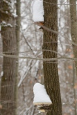 Snow-capped Tree Ears