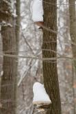 Snow-capped Tree Ears