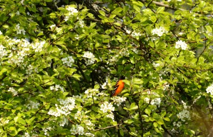Oriole In The Apple